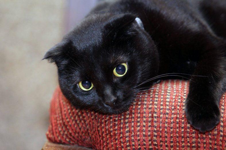 Scottish Fold Kedi